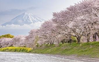 ทัวร์ญี่ปุ่น TOKYO SAKURA SNOWPINK 5D3N